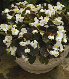 Бегония вечноцветущая (бронзовая листва) белые цветы