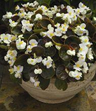 """Бегония вечноцветущая (бронзовая листва) (Begonia semperflorens) """"Eureka F1"""" (bronze white)"""