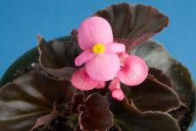 Бегония вечноцветущая (бронзовая листва) розовые цветы