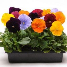 Виола виттрока, смесь расцветок