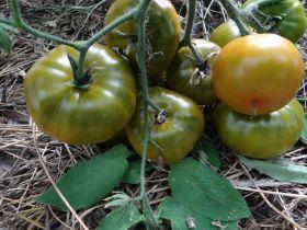 томат Зеленая Зебра (З.Г)
