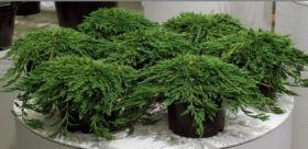 Можжевельник горизонтальный Пэнкейк (Juniperus horizontalis Pancake)