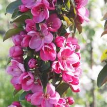 Яблоня колоновидная Розовая Сказка