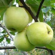 Яблоня традиционная Антоновка обыкновенная