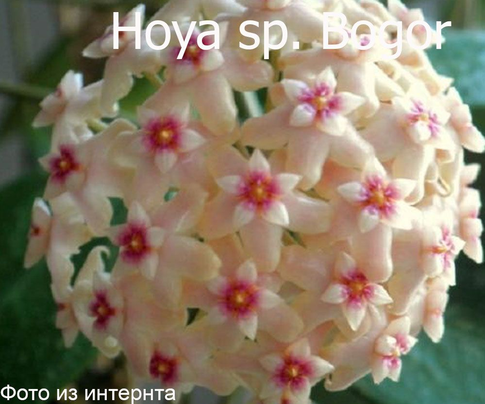 Hoya sp. Bogor