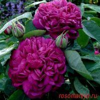 Роз дэ Рэшт (Rose de Rescht)