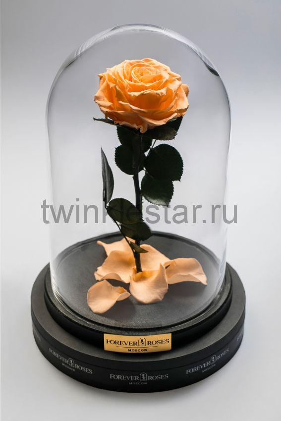Роза в колбе (персиковый) на прямом стебле, 33 см