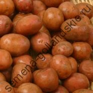 """Картофель """"Ван Иварден Ф2"""" (Van Iwaarden F2) 10 семян"""