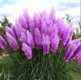 Семена пампасной травы