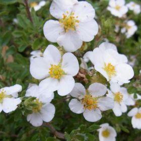 Лапчатка кустарниковая Сноуфлейк (Potentilla fruticosa Snowflake)