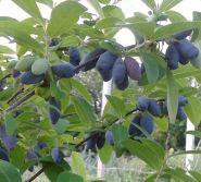 Жимолость плодовая Югана