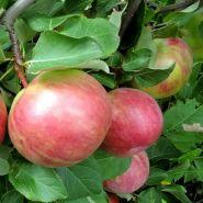 Яблоня традиционная Первоуральское