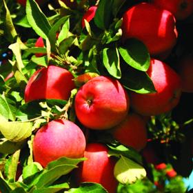 Яблоня традиционная Благая Весть