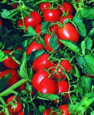 "Купить томат ""Астерикс"" F1"