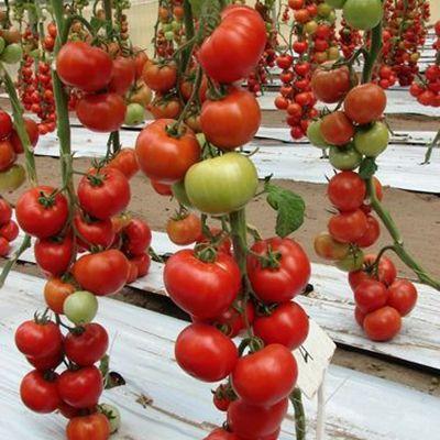 """Купить семена томата """"Белле"""" F1 (10/50 семян) от Enza Zaden"""