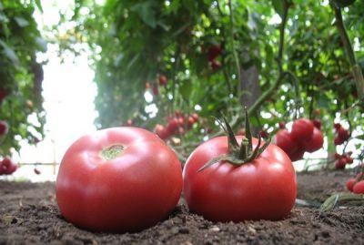 "Купить томат ""Грифон"" F1 (10 семян) от Nunhems"