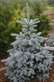 Ель колючая Блю Маунтин (Picea pungens Blue Mountain)