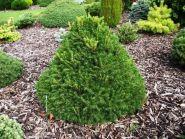 Ель обыкновенная Toмпа (Picea abies Tompa)