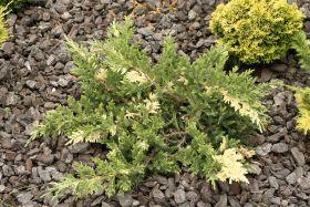 Можжевельник даурский Экспанса Вариегата (Juniperus daurica Expansa Variegata)