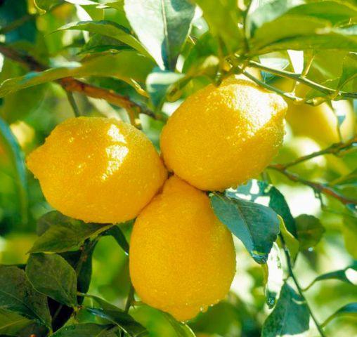 лимон павловский комнатный