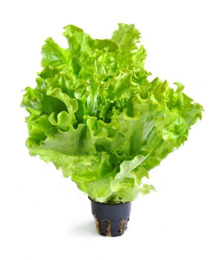 Салат зелёный свежий в горшочке, шт