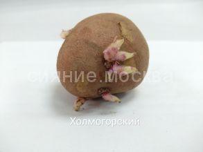 """Семенной картофель Супер Элита """"Холмогорский"""", 1 шт."""