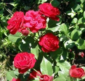 Роза флорибунда Торнадо