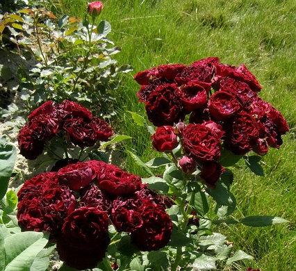Роза Ред Сенсейшн. (Red Sensation) Спрей
