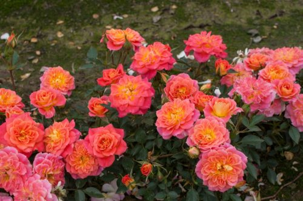 Роза Мандарин. (Mandarin) Бордюрная
