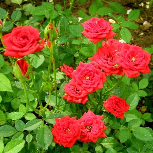 Роза Оранж Джувел. (Orange Juwel) Бордюрная