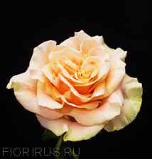 Роза Эквадор Феникс (Phoenix)