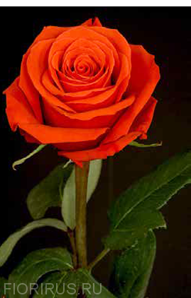 Роза Эквадор Нина (Nina)