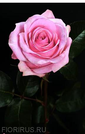 роза Эквадор Сага (Saga)