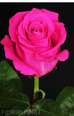 Роза Эквадор Пинк Флойд (Pink Floyd)