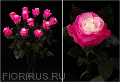 Роза Эквадор Пинк спрэй (Pink Spray)