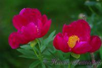 Пион травянистый 'Скарлет О`Хара' / Paeonia 'Scarlet O'Hara'