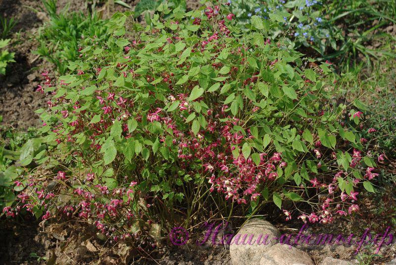 Горянка (Эпимедиум) / Epimedium grandiflorum