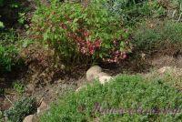 Горянка (Эпимедиум)