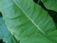 Семена табака сорта Юбилейный