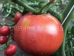 tomat-sladkij-karneros