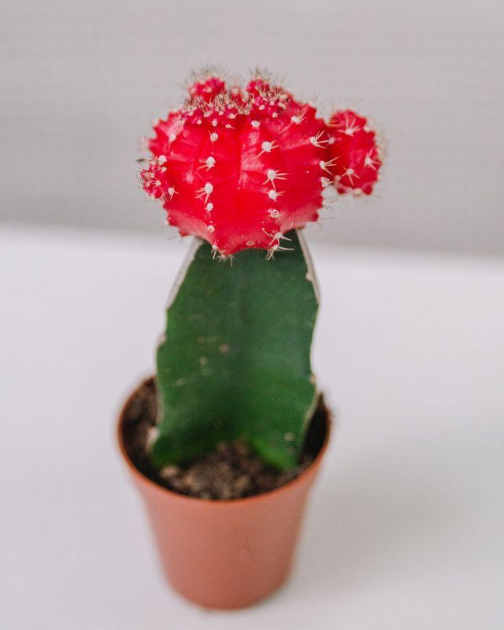 Кактус Гимнокалициум Красный Д-5