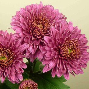Juweeltje Extra Lilac