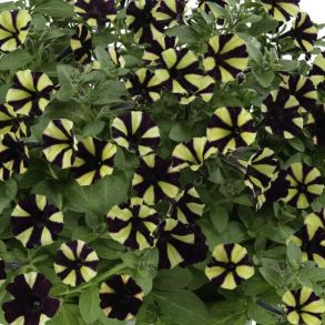 Петуния Littletunia Bicolor Black