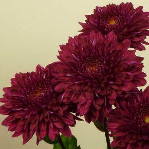 № 17 Хризантема Pompon Purple