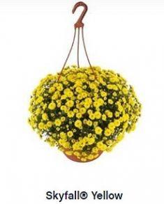 Хризантема ампельная Skyfall Yellow