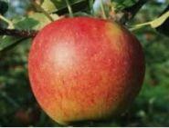 Яблоня традиционная Услада
