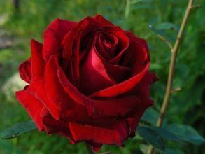 Чайно-гибридная роза Terrakota (Tantau, Германия, 2002 г.)