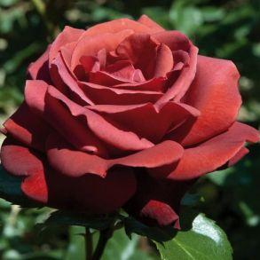 Чайно-гибридной роза Terracotta (Meilland, Франция, 1994 г.)