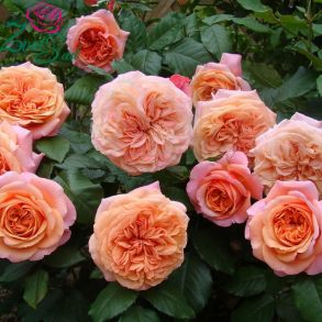 Полуплетистая роза Chippendale (Tantau, Германия, 2005 г.)