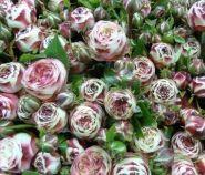 Роза чайно-гибридная Латин Помпон